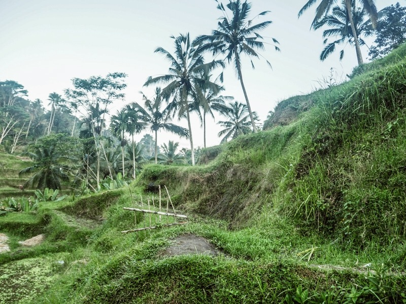 What to do in Ubud - rice fields