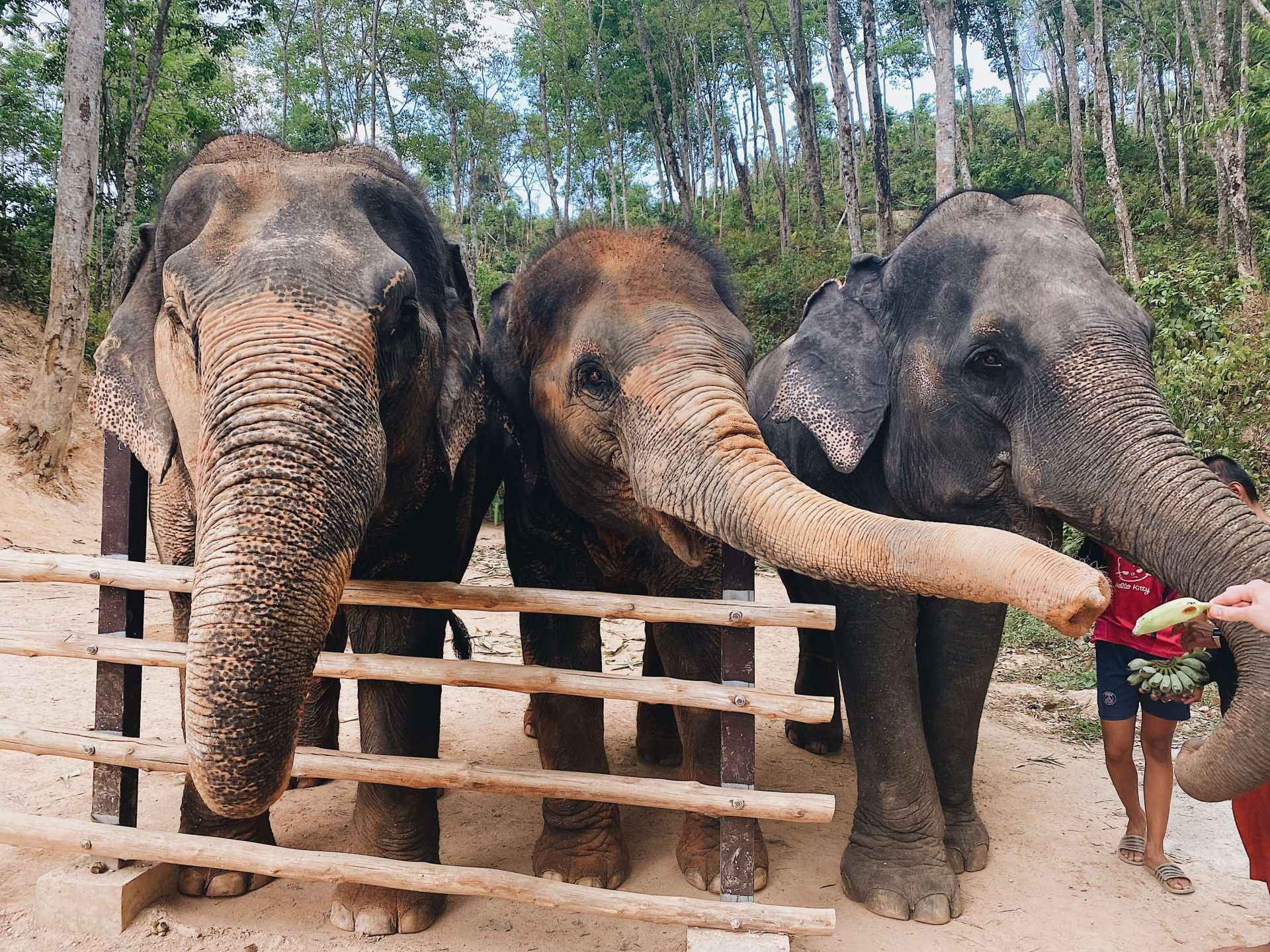 Places to go in Phuket elephant sanctuary